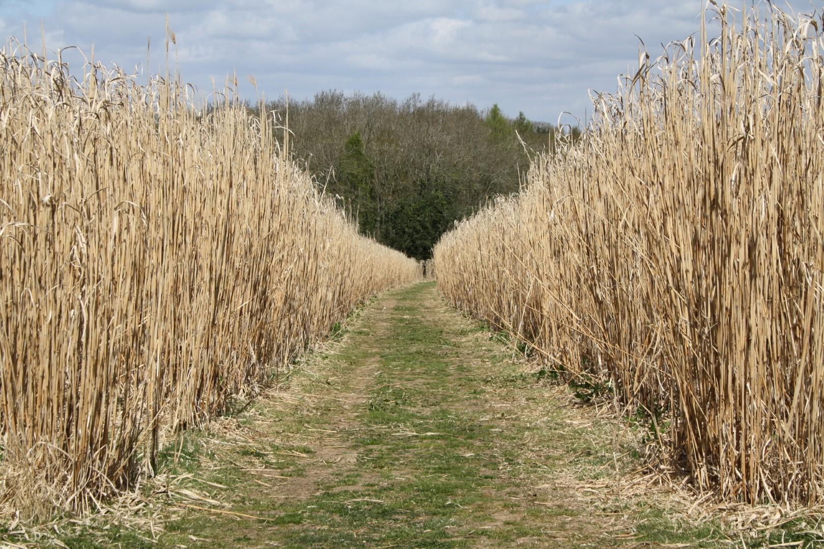 Energy crop